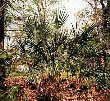 Rhapidophyllum hystrix 2 form
