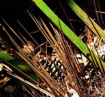 Rhapidophyllum hystrix 3