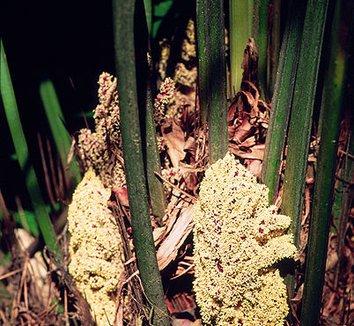 Rhapidophyllum hystrix 5 flower, male flower