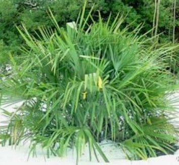 Rhapidophyllum hystrix 8 form