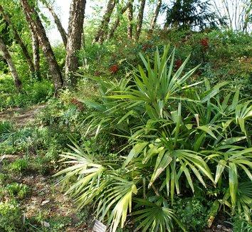 Rhapidophyllum hystrix 11