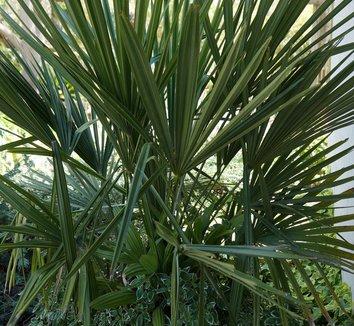 Rhapidophyllum hystrix 15