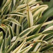 Rohdea japonica 'Mure-suzume'