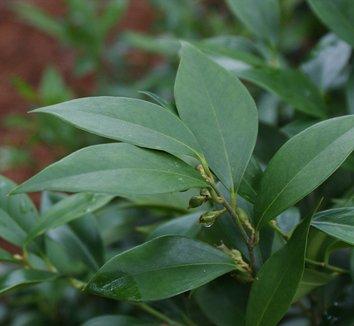 Sarcococca orientalis 1