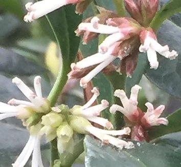 Sarcococca orientalis 6 flower
