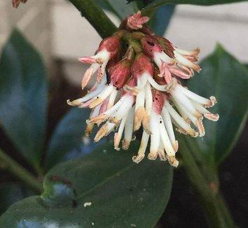Sarcococca orientalis 7 flower