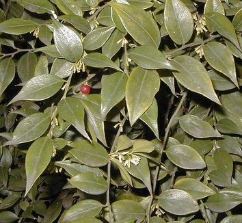 Sarcococca ruscifolia 8 flower
