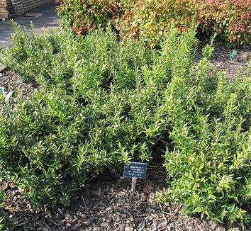 Sarcococca ruscifolia var. chinensis 'Dragon Gate' 1