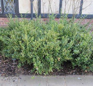 Sarcococca ruscifolia var. chinensis 'Dragon Gate' 3