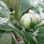 Solanum capsicastrum 'Variegatum'