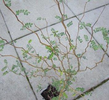 Sophora prostrata 'Little Baby' 3