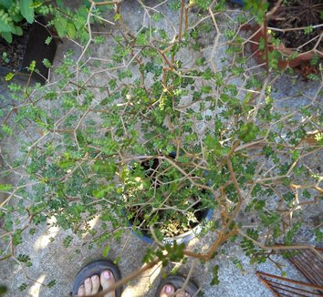 Sophora prostrata 'Little Baby' 4