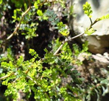 Sophora prostrata 'Little Baby' 6