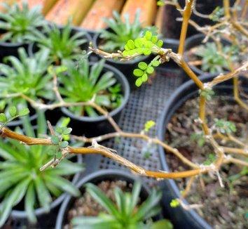 Sophora prostrata 'Little Baby' 8