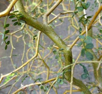 Sophora prostrata 'Little Baby' 12