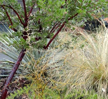 Sophora prostrata 'Little Baby' 14 stem