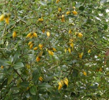 Sophora prostrata 'Little Baby' 16 flower