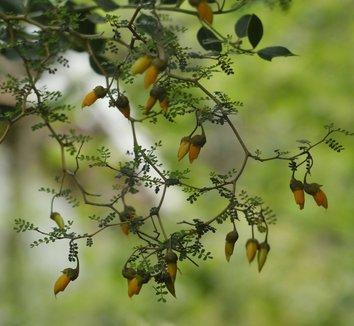 Sophora prostrata 'Little Baby' 1 flower