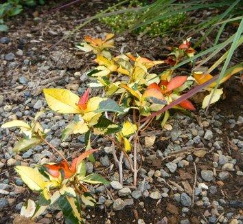 Trachelospermum asiaticum 'Ogon Nishiki' 4 form