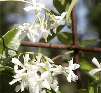 Trachelospermum jasminoides 'Madison' 1 flower