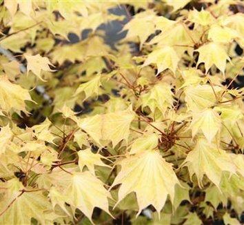Acer pictum 'Usugumo' 1
