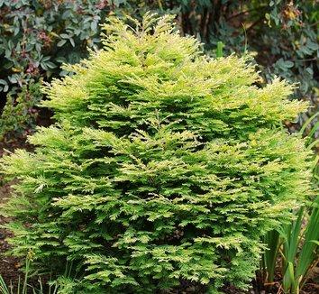 Metasequoia glyptostroboides 'Schirrmann's Nordlicht' 1 form