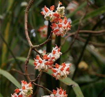 Edgeworthia chrysantha 'Akebono' 1 flower