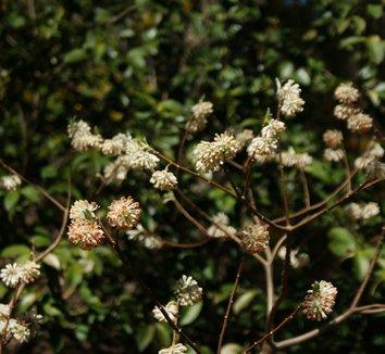 Edgeworthia chrysantha 'Akebono' 11 flower