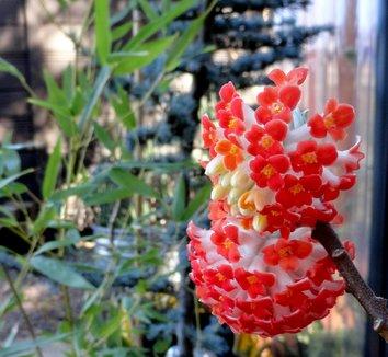 Edgeworthia chrysantha 'Akebono' 12 flower