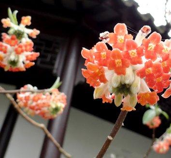 Edgeworthia chrysantha 'Akebono' 6 flower