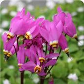 Dodecatheon 'Tanya's Star'