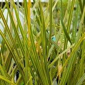 Libertia ixioides 'Gold Stripe'