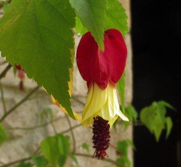 Abutilon megapotamicum 'China Bells' 1 flower