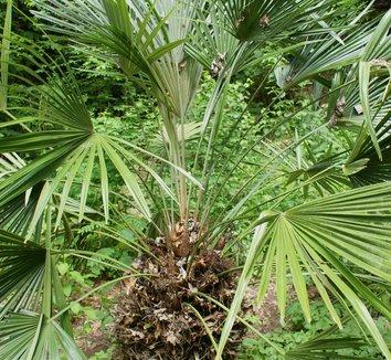 Rhapidophyllum hystrix 9