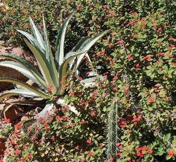 Agave americana var. mediopicta 'Alba' 23 landscape