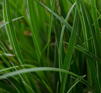 Carex 'Silver Sceptre' 7 form