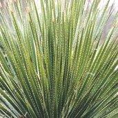 Dasylirion aff. leiophyllum