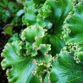 Farfugium japonicum 'Cristata'