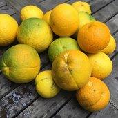 Citrus (x paradisi) x trifoliata
