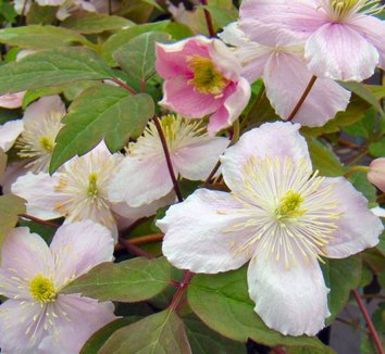 clematis montana 39 mayleen 39 clematis 39 mayleen 39 plant lust. Black Bedroom Furniture Sets. Home Design Ideas