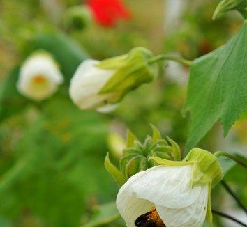 Abutilon 'White' [UC Davis] 3 flower