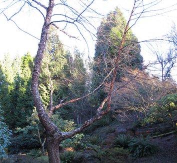 Betula albosinensis 'Septentrionalis' 11