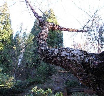 Betula albosinensis 'Septentrionalis' 10