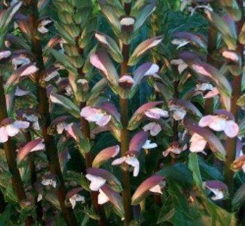 Acanthus mollis 14 flower