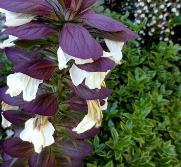 Acanthus mollis 18 flower