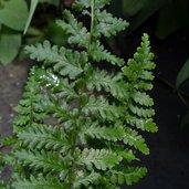Dryopteris affinis 'Cristata Angustata'