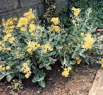 Brachyglottis greyi 6 flower, form