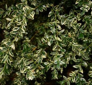 Buxus sempervirens 'Aureovariegata' 5