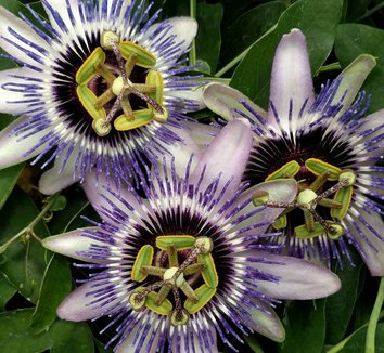 Passiflora 'Damsel's Delight' 5 flower
