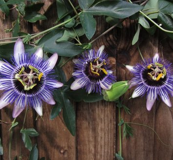 Passiflora 'Damsel's Delight' 1 flower